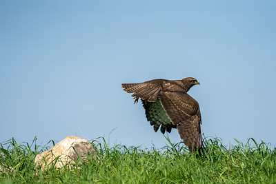 עקב חורף - common buzzard (Buteo buteo)