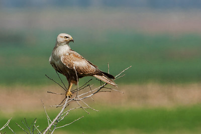 עקב עיטי - Long-legged buzzard (Buteo rufinus)