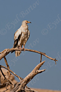 Egyptian Vulture (Neophron percnopterus) - רחם