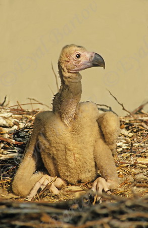 Lappet -Faced Vulture
