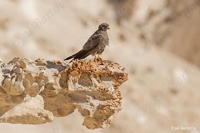 sooty falcon (Falco concolor
