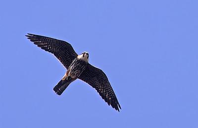 Lanner Falcon (Falco biarmicus) בז צוקים