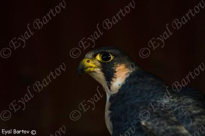 בז מדברי / Barbary Falcon / Falco pelegrinoides