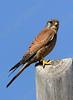 Common Kestrel (Falco tinnunculus) - בז מצוי