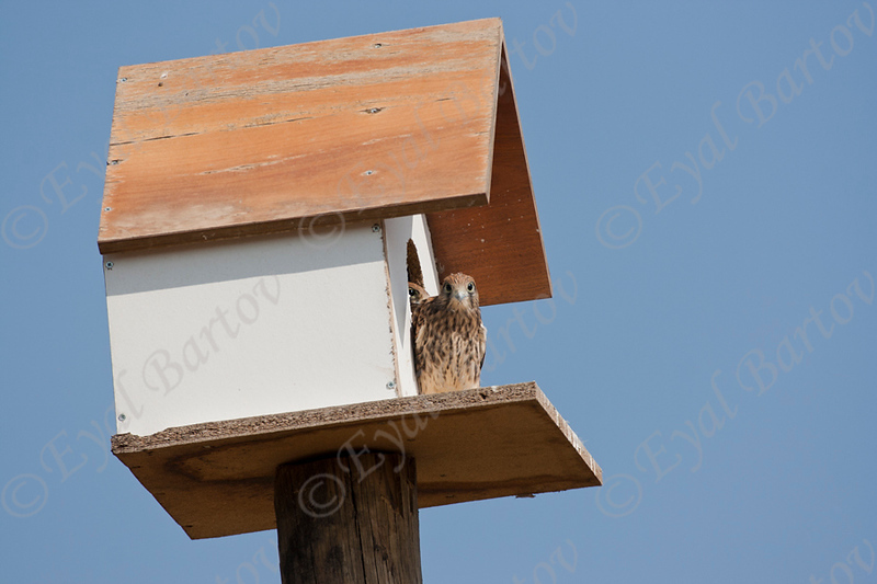 Common Kestrel (Falco tinnunculus) בז מצוי