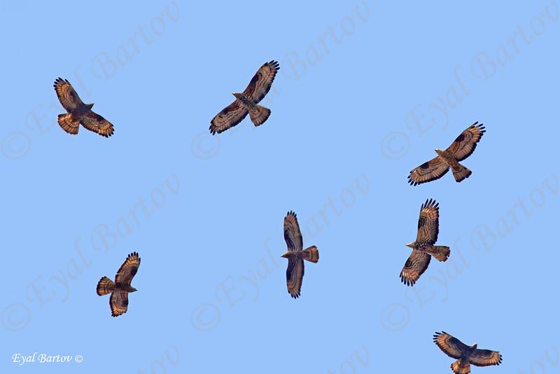 Honey buzzard (Pernis apivorus) איית צרעים