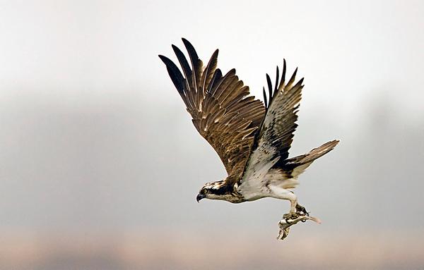 Osprey-  שלך