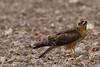 pallid harrier (Circus macrourus) צעיר זרון שדות