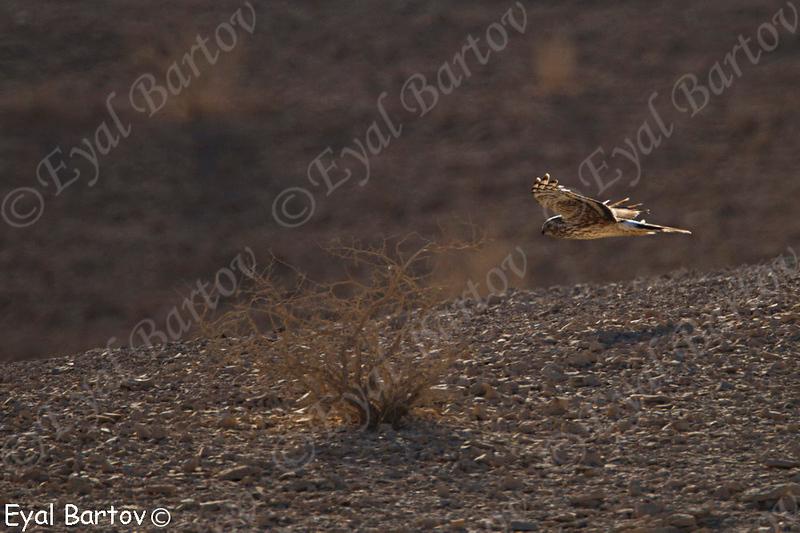 Hen Harrier - נקבה בוגרת זרון תכול -Circus cyaneus