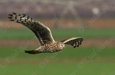 Montagu's Harrier -Circus pygargus נקבת זרון פס