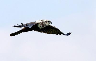 Marsh Harrier זרון סוף - Circus aeruginosus