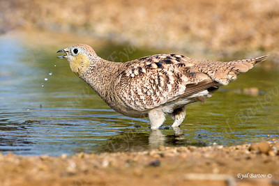 Crowned Sandgrouse (Pterocles coronatus)