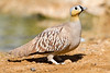 Crowned Sandgrouse / Pterocles coronatus. קטת כתר