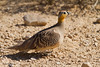 קטת כתר / Crowned Sandgrouse / Pterocles coronatus