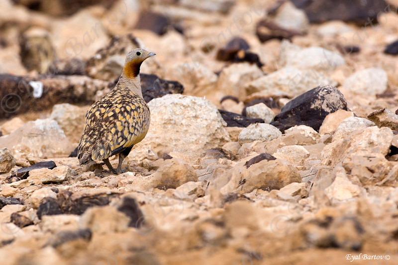 קטה גדולה / Black-bellied Sandgrouse / Pterocles