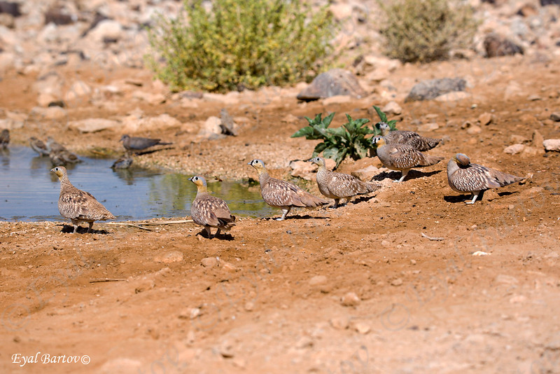 Crowned Sandgrouse / Pterocles coronatus. קטת כתר