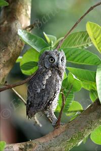 Scops Owl - שעיר