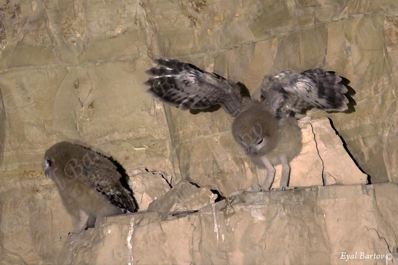 Desert Tawny Owl - Strix hadormi -לילית מדבר