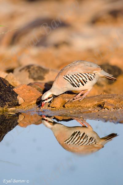Chukar -Alectoris chukar -חוגלת סלעים