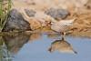 Sand partridge; Ammoperdix heyi; קורא מדברי