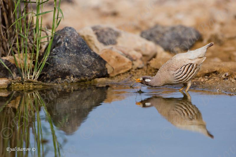 Sand partridge - Ammoperdix heyi - קורא מדברי