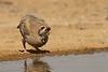 Chukar  / חוגלת סלעים /  Alectoris chukar