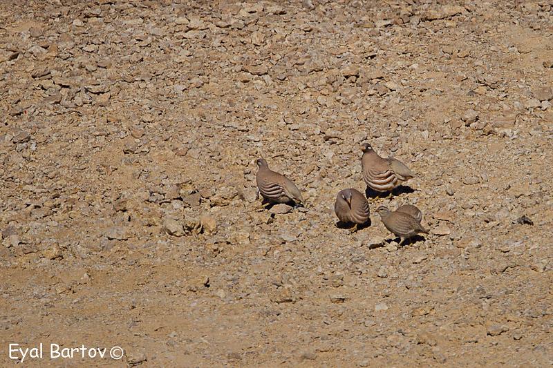 Sand Partridge, Ammoperdix heyi,  -  קורא