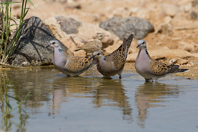 European turtle dove (Streptopelia turtur) -  תור מצוי