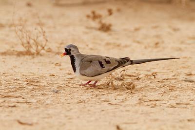 Namaqua dove (Oena capensis)  תורית זנבנית