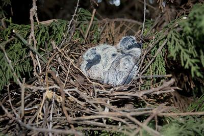 laughing dove (Spilopelia senegalensis) - צוצלת