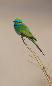 Little Green Bee-Eater  - שרקרק גמדי