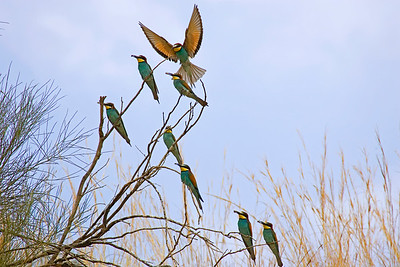 European bee-eater (Merops apiaster) - שרקרק מצוי