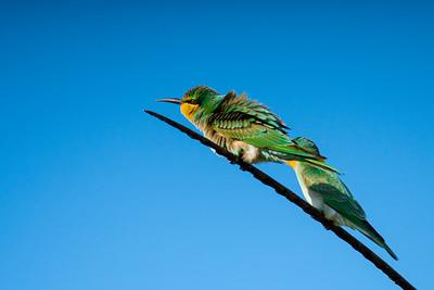 Blue-cheeked bee-eater  (Merops persicus) שרקרק ירוק