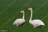 ברבור שר Whooper Swan