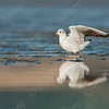Black-headed Gull (Chroicocephalus ridibundus)- שחף אגמים