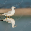 שחף צר מקור / Slender-billed Gull / Larus genei