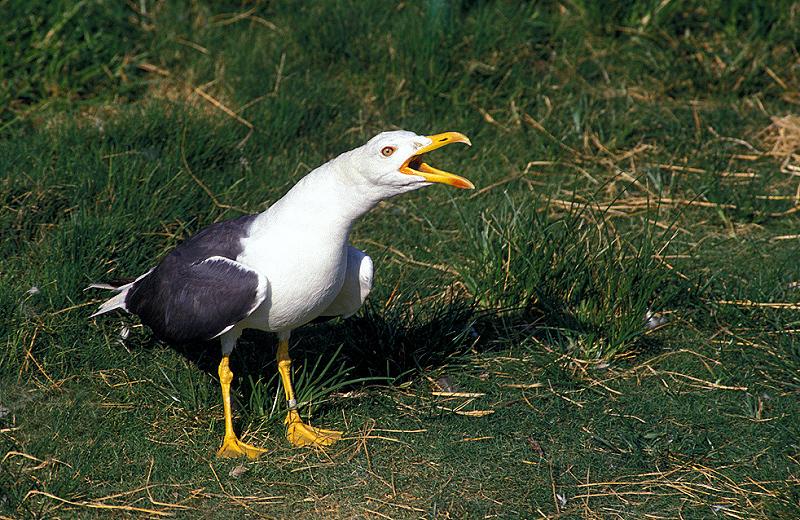 שחף שחור / שחף בלטי  - Lesser Black-backed Gull - Larus fuscus.