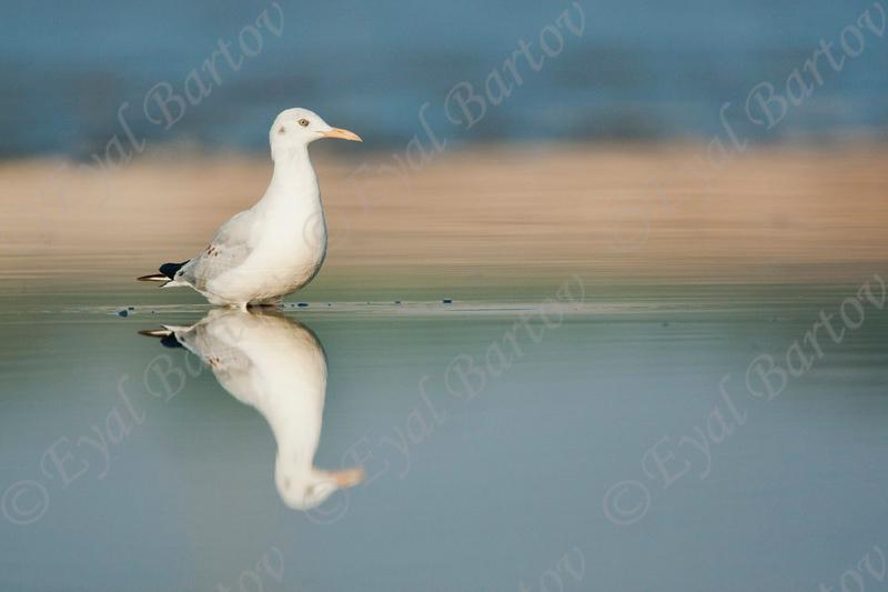 שחף צר מקור / Slender-billed Gull / Larus gene