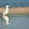 שחף צר מקור / Slender-billed Gull / Larus gene