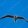 Black-headed Gull (Chroicocephalus ridibundus)- שחף אגמים