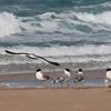 שחף עיטי / Palla's Gull / Larus ichthyaetus