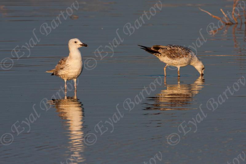 שחף ארמני / Armenian Gull / Larus armenicus