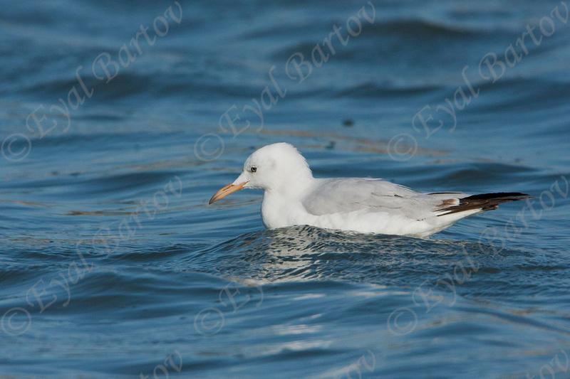 שחף צר מקור  / Slender-billed Gull /  Larus genei