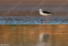 Black-winged Stilt (Himantopus himantopus) תמירון