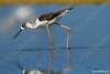 Black-winged Stilt (Himantopus himantopus) תמירון