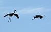 common crane (Grus grus) עגור אפור