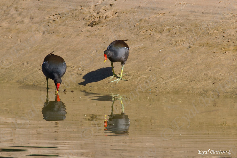 common moorhen (Gallinula chloropus)- סופית מצויה