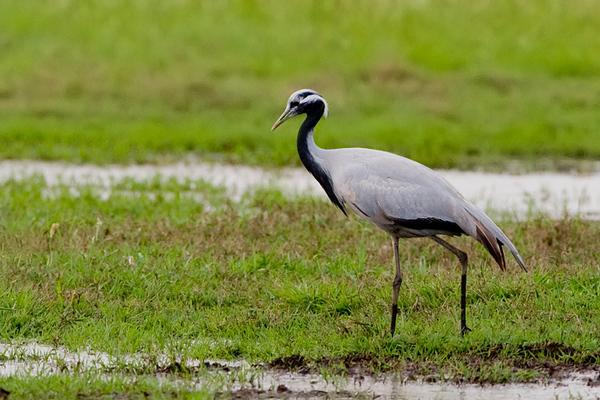 demoiselle crane (Anthropoides virgo) -עגור חן