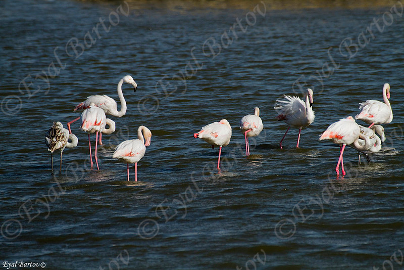 Greater flamingo (Phoenicopterus roses) - פלמינגו מצוי