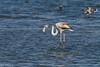 Greater flamingo (Phoenicopterus roses) - פלמינגו מצוי